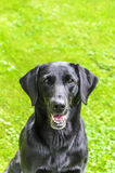 Portrait of a black labrador Stock Photography