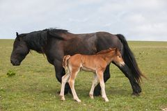 Portrait of black mare with her baby foal royalty free stock photography
