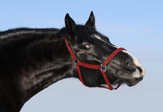 Portrait of black mare. Black horse and red halter Royalty Free Stock Images