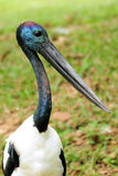 Portrait of a Black-necked Stork Royalty Free Stock Image