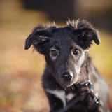 Portrait of a black not purebred puppy Royalty Free Stock Images