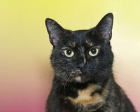 Portrait of a black and orange tortie torbie tabby stock images