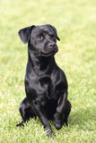 Portrait of black Patterdale Terrier dog Royalty Free Stock Photography