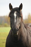 Portrait of black percheron in autumn Royalty Free Stock Images