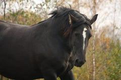 Portrait of black percheron in autumn Stock Images