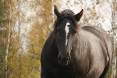 Portrait of black percheron in autumn Royalty Free Stock Image