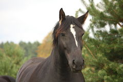 Portrait of black percheron in autumn. Portrait of beautiful black percheron in autumn Stock Images