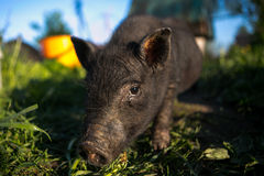 Portrait of black pig looking at the camera Royalty Free Stock Image
