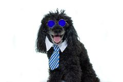PORTRAIT OF A BLACK POODLE WEARING MIRROR BLUE SUNGLASES AND TIE