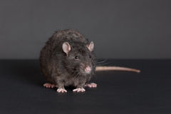 Portrait of a black rat Royalty Free Stock Photo
