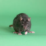 Portrait of a black rat Stock Photography
