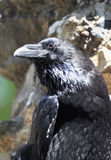 Black raven from the Tower of London, UK. Black raven from the Tower of London - UK Stock Image