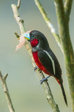 Portrait of  Black-and-Red Broadbill Stock Image