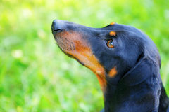 Portrait of black and red dachshund closeup. Look up Stock Photography