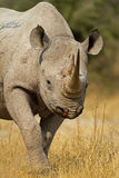 Portrait of Black Rhinoceros Royalty Free Stock Images