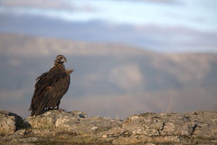 Portrait of black scavenger vultures Royalty Free Stock Photos
