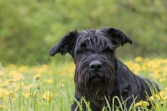 Portrait of the Black Schnauzer Dog lying at the dandelion meado. Portrait of the Giant Black Schnauzer Dog lying at the blossoming dandelion meadow Royalty Free Stock Photos