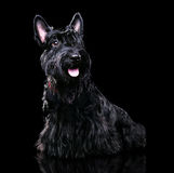Portrait of a black scottish terrier Royalty Free Stock Photo
