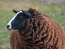 Portrait of a black sheep Royalty Free Stock Photography