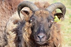 Portrait of a black sheep with horns in Iceland. royalty free stock photos