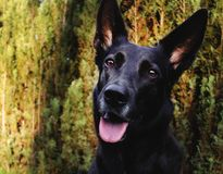 Portrait of a black shepherd dog on the garden. stock photography