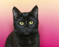 Portrait of a black short hair kitten on a pink and yellow textu. Red background. Cat looking forward Royalty Free Stock Images