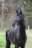 Portrait of black sport horse with bridle Stock Photo