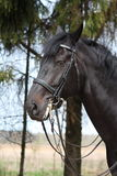 Portrait of black sport horse with bridle Royalty Free Stock Photos