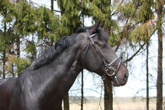 Portrait of black sport horse with bridle Stock Photography