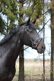 Portrait of black sport horse with bridle Stock Photos
