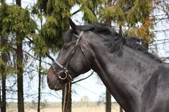 Portrait of black sport horse with bridle Royalty Free Stock Photography
