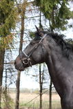 Portrait of black sport horse with bridle Stock Image