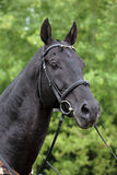 Portrait of black sportive horse with bridle. Warmblood black stallion portrait in green woods background Stock Photos