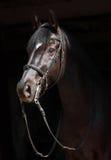 Portrait of black sportive horse. Black dressage horse on dark background Royalty Free Stock Images