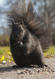 Portrait of Black Squirrel. With seeds and nuts on gravel path stock photography