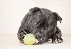 Portrait of black Staffordshire Bull Terrier dog lying down Stock Images