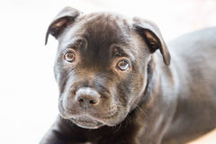 Portrait of a black staffordshire bull terrier puppy Royalty Free Stock Photos