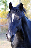 Portrait of the black stallion. Horse at liberty, thoroughbred horse, noble animal, trotter Stock Photos