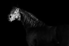 Portrait of  black stallion at black background Royalty Free Stock Image