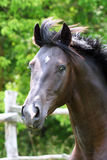 Portrait of a black stallion Stock Images