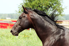 Portrait of a black stallion Royalty Free Stock Images