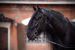 Portrait of a black stallion. Royalty Free Stock Images