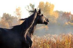 Portrait of black stallion Stock Photos