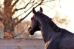 Portrait of a black stallion Stock Image