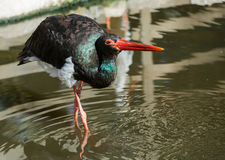Portrait of black stork Royalty Free Stock Photo