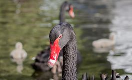 Portrait of a black swan in the pond against the backdrop of his family. The Black Swan Cygnus atratus It`s one of the most elegant and beautiful birds. Lives royalty free stock images
