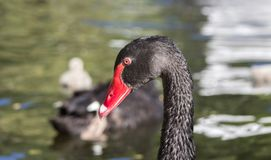 Portrait of a black swan in the pond against the backdrop of his family. It looks like Mute swan, but it is smaller. His feathers are black, with white areas stock image