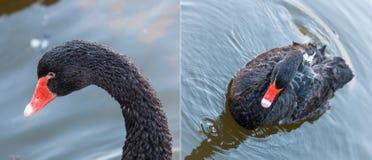Portrait of a black swan Stock Photos