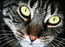 Portrait of a Black Tabby. Dramatic horizontal portriat of a black tabby cat with green eyes stock photography