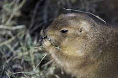 Portrait of a black-tailed prairie dog, Cynomys ludovicianus. stock images
